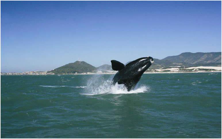 Observação de baleias francas em Santa Catarina | Casa do Turista