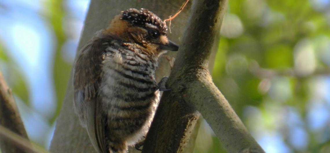 Observação de Aves em Bombinhas - Birdwatching em Bombinhas